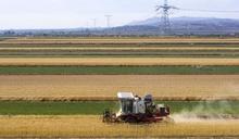 內地小麥減收近940萬噸惹憂慮 糧儲局指供應充足