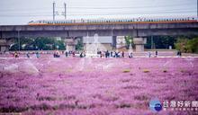 桃園仙草花節盛大開幕 一睹浪漫紫色花海