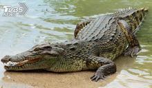 鱷魚游過岸邊秒被叼走 大藍鷺生吞過程全都錄