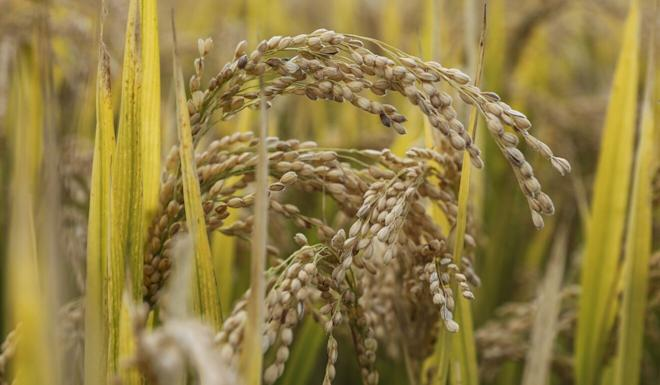 China's grain output is set to top 650 million tonnes this year. Photo: Simon Song