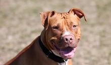 猛犬上千隻!農委會將禁養比特犬 若不想跟愛犬分開這點一定要做