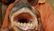 蛋蛋的哀傷!嗜吃「男性睪丸」鋸腹脂鯉 入侵瑞典南部海域