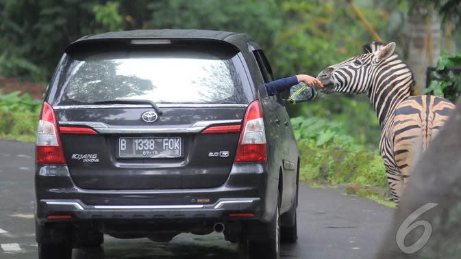Libur panjang perayaan Natal dan Tahun baru 2015, sejumlah wisatawan lokal memadati Taman Safari Indonesia, Bogor, (25/12/14). dari dalam mobil Pengunjung bisa memberikan makanan ke beberapa koleksi hewan yang ada di TSI. (Liputan6.com/Herman Zakharia)