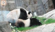 大熊貓盈盈確定無懷孕 9年交配均無果