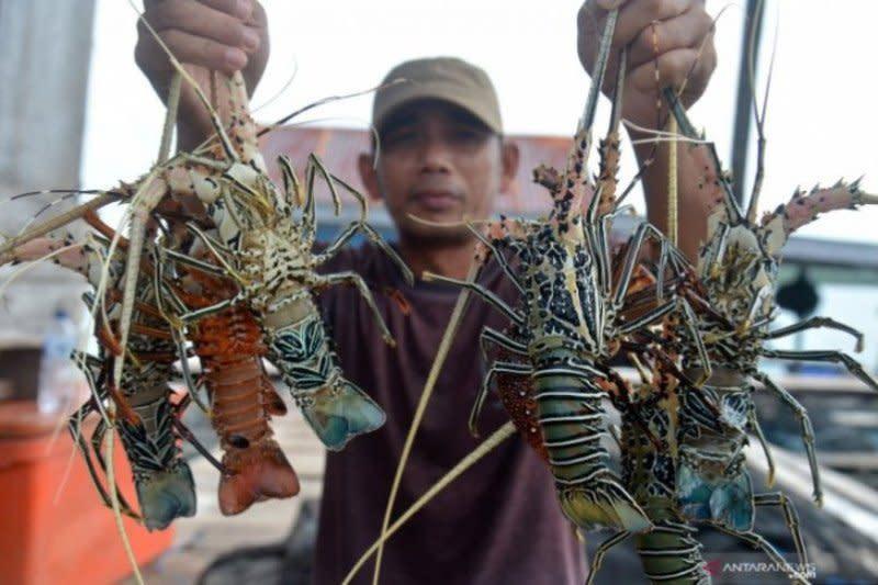 Dari Sabang sampai Merauke ada nelayan lobster, kata Menteri Edhy