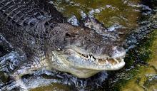 澳洲逃犯裸身受困鱷魚出沒區獲救