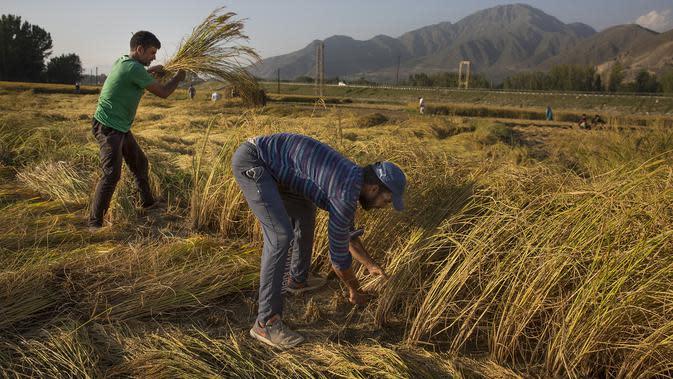 Sejumlah petani memanen padi di sebuah sawah di Desa Awantipora, Distrik Pulwama dekat Kota Srinagar, Kashmir yang dikuasai India (23/9/2020). (Xinhua/Javed Dar)
