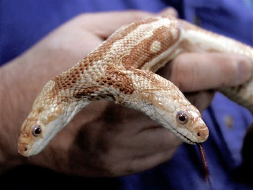 """Leonard Sonnenschein, president of the World Aquarium in St. Louis holds a two-headed albino rat snake, Monday, Jan. 2, 2006. The eight-year-old oddity of nature known affectionately by fans worldwide as """"We"""" died of natural causes sometime during the June 16-17, 2007, weekend.  (AP Photo/James A. Finley, file)"""