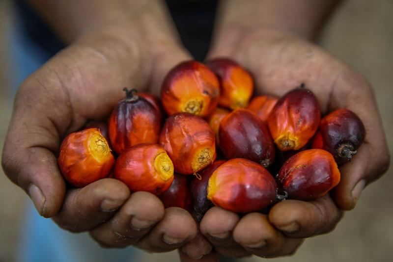 A worker shows oil palm fruits at a plantation in Kuala Selangor January 2, 2020. — Picture by Yusof Mat Isa