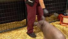 馬斯克的腦機對接:演示芯片植入豬腦新技術