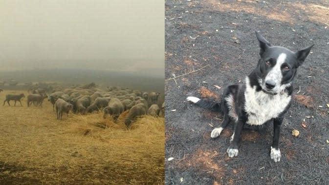 Jadi Pahlawan, Anjing Ini Selamatkan Domba dari Kebakaran Australia