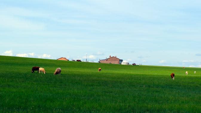 Foto pada 28 Juni 2020 menunjukkan pemandangan sebuah padang rumput di Prefektur Xilingol, Daerah Otonom Mongolia Dalam, China. Sejauh ini, tingkat vegetasi padang rumput dan cakupan hutan di daerah tersebut masing-masing telah mencapai 44 persen dan 22,1 persen. (Xinhua/Jia Lijun)