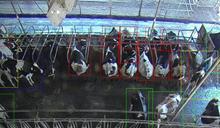 【食力】愛爾蘭新創開發牛臉辨識功能,一掃就知道牛健不健康!