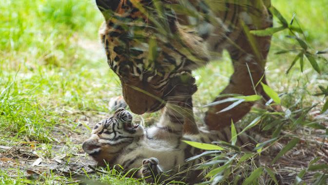 Dalam foto tanpa tanggal memperlihatkan seekor anak Harimu Sumatera bermain dengan induknya di Kebun Binatang Wroclaw, Harimu Sumatera berusia dua bulan ini mulai mengenal dunia luar dan belajar berburu dari ibunya bernama Nuri. (Wroclaw Zoo via AP)