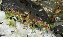 【生態景觀傲視全球】 茂林紫蝶幽谷 嬌客報到