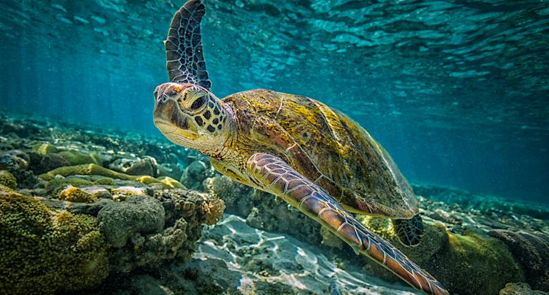 A green turtle swims through the waters of the Great Barrier Reef.