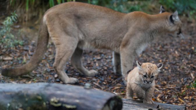 Seekor puma berdiri di belakang anaknya yang berusia satu setengah bulan bernama Emy di Zoo de Vincennes, dekat Paris pada Selasa (13/10/2020). Emy merupakan puma pertama yang lahir di Zoo de Vincennes pada 21 Agustus lalu. (Thomas SAMSON / AFP)