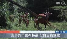 肯亞國家級保育 斑哥羚羊重返大自然