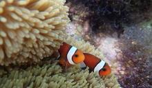 【Yahoo論壇/曾詩琴】海葵大量白化 小丑魚沒了家 海洋失了魂