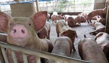 不怕萊劑豬!行政院曝台灣豬絕對優勢