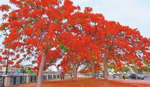 重塑鳳凰花城意象 民間團體8年種500棵樹