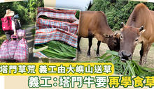 【塔門草荒】塔門牛被逼食膠袋垃圾 義工:等同步向死亡