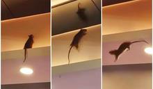 【有片】酒樓天花橫樑空降生猛「五星級大鼠」 網民:大隻到以為係貓