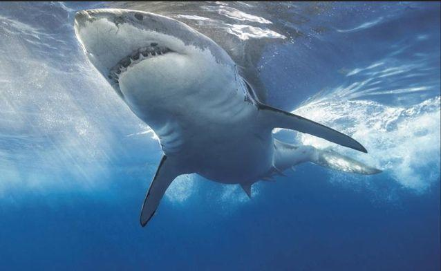 Shark attacks have been on the rise at northern NSW beaches.