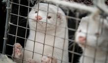 丹麥撲殺1700萬隻水貂 嚴防疫苗失效