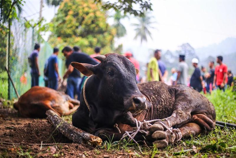 Malaysian Muslims get a cow ready for slaughter during Hari Raya Aidiladha celebrations in Hulu Langat August 11, 2019. — Picture by Hari Anggara