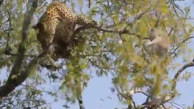 Diserang Macan Tutul Sampai Naik ke Pohon, Monyet Ini Tak Menyerah