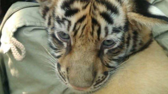 Beli Kucing Savannah Online Rp104 Juta, Dikirim Anak Harimau Sumatera