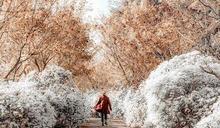 黃白雙色花海太夢幻!黃金楓白雪木絕美花道