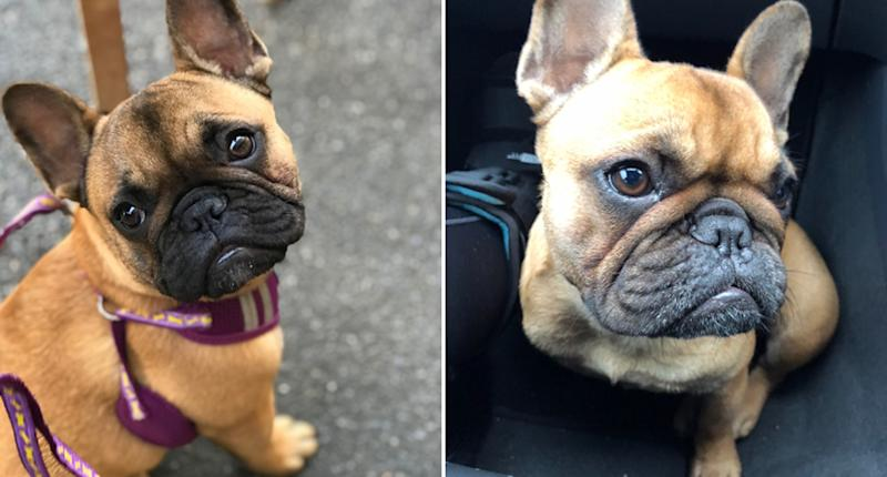 Police search for dog thief after French Bulldog snatched
