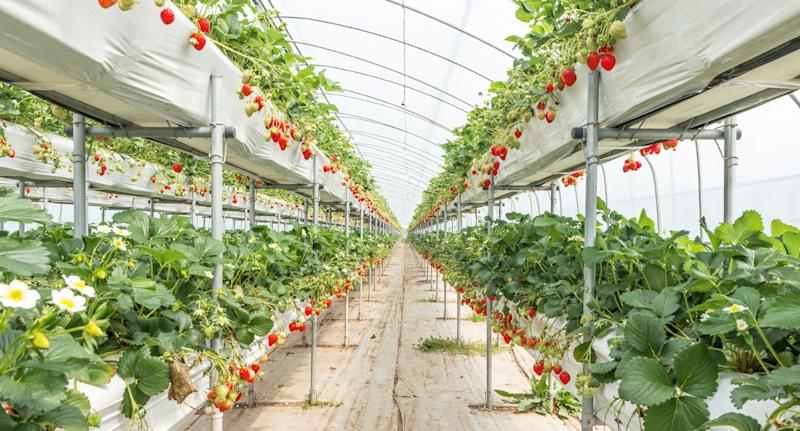 Strawberry plantation shown as organic produce expert warned they were the worst fruit for absorbing pesticides.