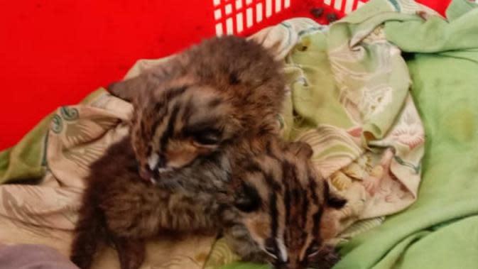 Tangisan 2 Bayi 'Leopard Cat' yang Ditinggal Induknya di Ladang Jagung