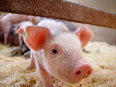 「母豬教」是誰發明的?