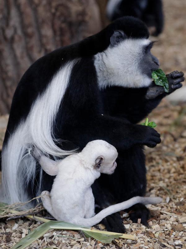 Bayi guereza yang baru lahir memegang guereza dewasa di kebun binatang di Praha, Republik Ceko, Rabu (26/2/2020). Bayi guereza dengan jenis kelamin yang masih belum diketahui tersebut lahir pada 24 Februari 2020. (AP Photo/Petr David Josek)