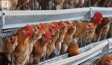 瑞典爆高致病性H5N8禽流感 港停進口禽類產品