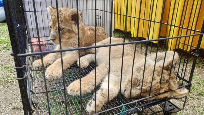 Ilustrasi anak singa. (Liputan6.com/M Syukur)