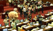 國民黨議員扛豬進議場反美豬 一度杯葛柯文哲施政報告