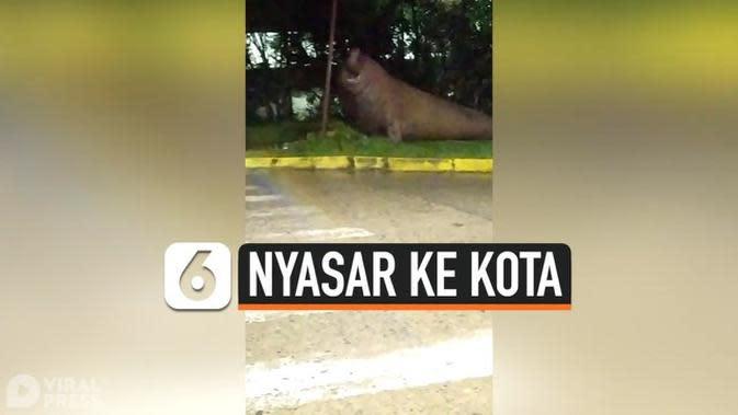 VIDEO: Anjing Laut Nyasar ke Tengah Kota, Bikin Heboh Warga