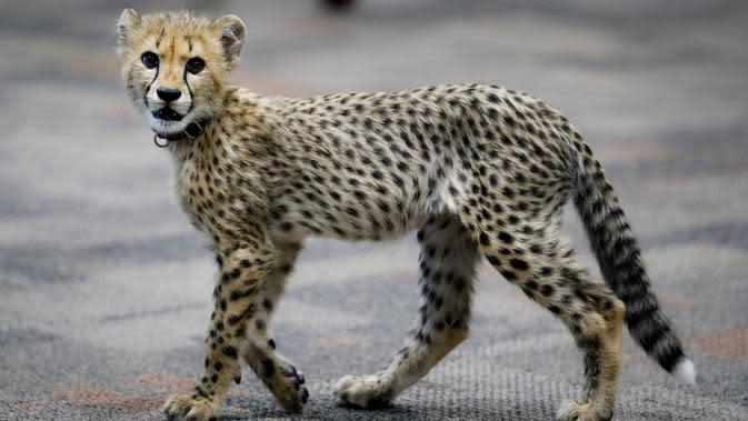 Bayi cheetah bernama Kris berjalan di Kebun Binatang Cincinnati, Ohio, Amerika Serikat, Rabu (9/10/2019). Kebun Binatang Cincinnati menghadirkan anak anjing untuk menemani Kris karena anak cheetah tunggal biasanya tidak bertahan hidup. (AP Photo/John Minchillo)