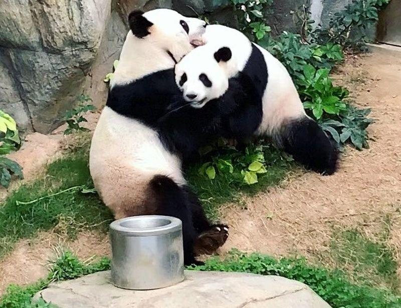 Giant pandas, Ying Ying and Le Le's news of successfully mating have delighted many. — Picture via Instagram