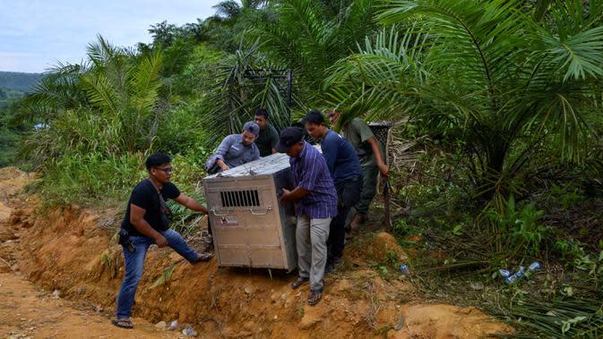 Petugas Balai Konservasi Sumber Daya Alam (BKSDA) Aceh membawa kandang evakuasi yang berisi seekor harimau sumatra liar yang berhasil ditangkap di Desa Singgersing, Kota Subulussalam, Aceh, Minggu (8/3/2020). Penangkapan harimau dilakukan dengan menggunakan kandang jebak. (CHAIDEER MAHYUDDIN/AFP)