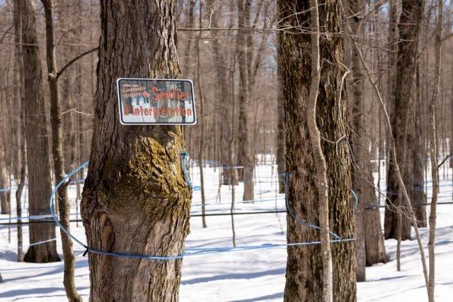 Coronavirus leaves bitter taste for Canada maple sugar shacks
