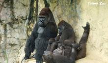 金剛猩猩「二寶」來了 北市動物園邀您一起命名