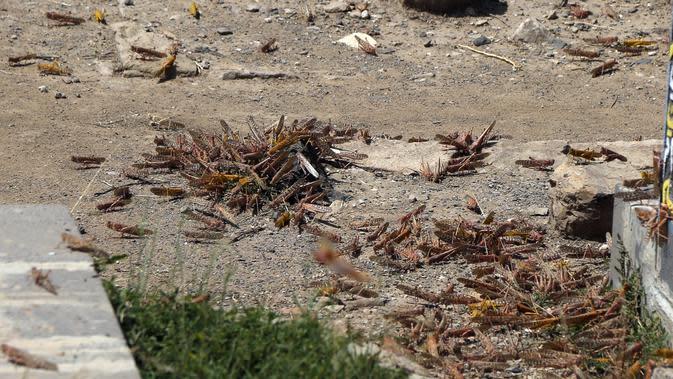 Kawanan belalang gurun terlihat di tanah di Sanaa, Yaman (12/7/2020). FAO mengatakan bahwa ancaman belalang gurun di Afrika merupakan salah satu tantangan terbesar yang dihadapi sistem pangan dunia dan telah menciptakan sejumlah dampak yang sangat merusak. (Xinhua/Mohammed Mohammed)