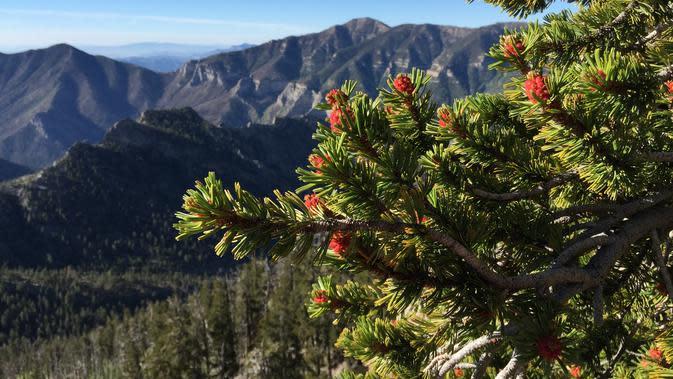 Pucuk Pinus longaeva (wikimedia commons)
