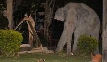 別惹喵星人!4噸重大象闖進民宅偷吃食物、遭虎斑小貓兇狠喝斥,竟落荒而逃
